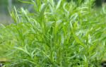 Эстрагон трава применение